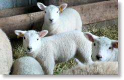 Lambs at Meadow Harvest